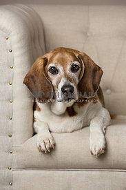 beagle sitting on white chair