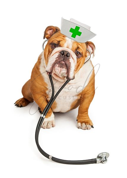 Bulldog Nurse With Stethoscope