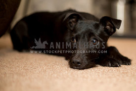 little black dog lying on the floor looking up