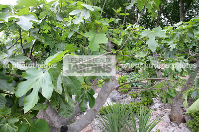 Ficus carica, Figuier commun, Fig tree, Moraceae, Arbre fruitier rustique,
