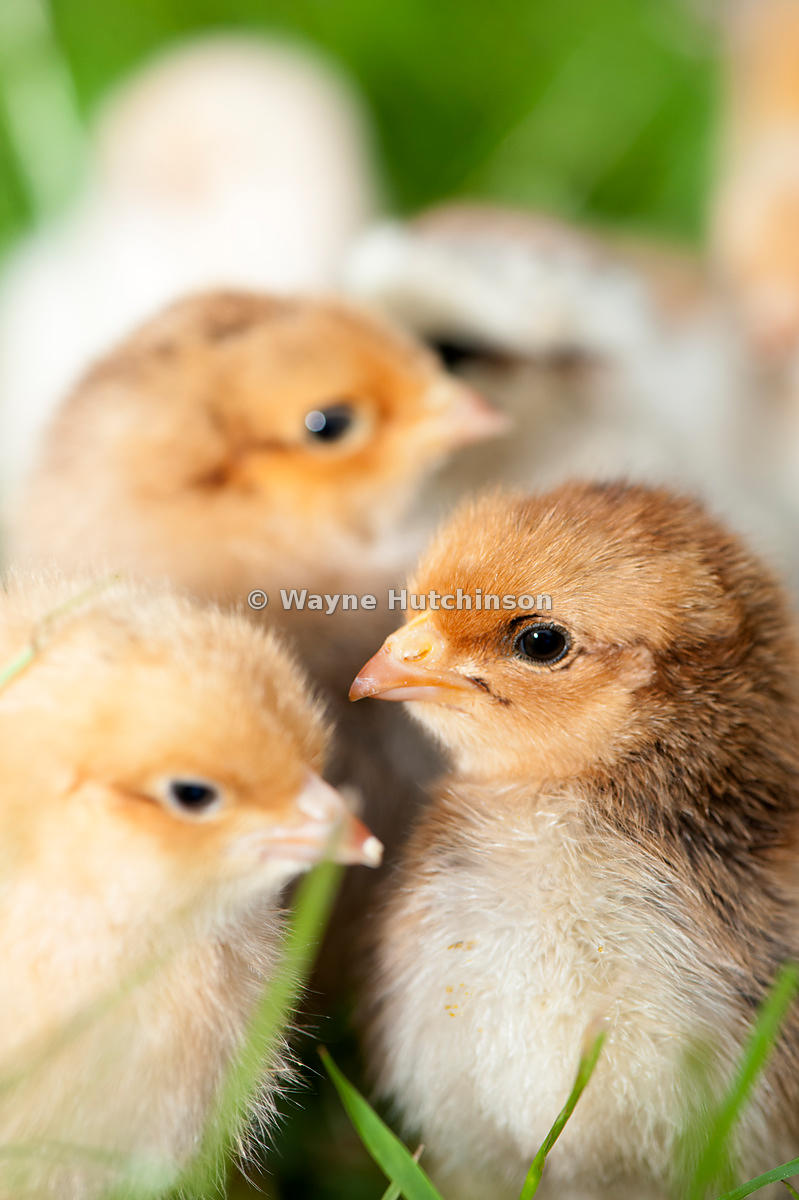 Day old poultry chicks outside on grass.