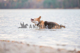 Funny Beagle shaking his head and ears in the water at the lake