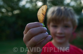 Young boy holding Sycamore seed Norfolk autumn