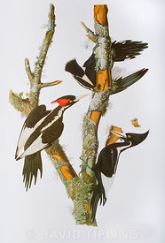 Ivory-billed Woodpecker plate by John James Audubon from Birds of America