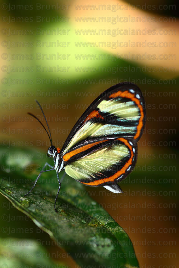 Salapia glasswing butterfly (Ithomia salapia)