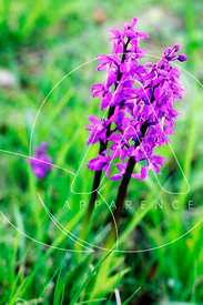 orchidée sauvage france