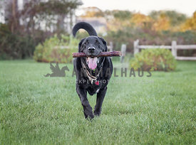 Black Labrador oustude in grass fetching a stick
