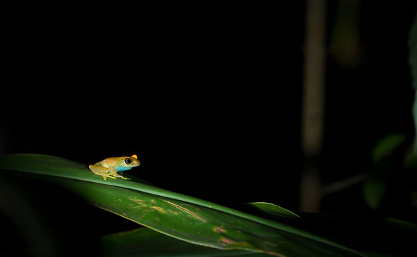 Green Bright-Eyed Frog