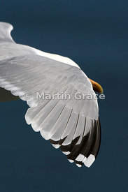 Close-up image of wing tip of European Herring Gull (Larus argentatus) in flight, Bempton Cliffs, North Yorkshire, England