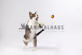 cat chasing ball