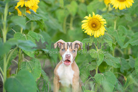 comical close up of pitbull puppy in a field of sunflowers with mouth wide open