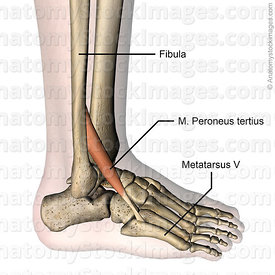 lowerleg-musculus-peroneus-tertius-fibularis-muscle-tendon-metatarsi-v-fibula-lateral-side-skin-names
