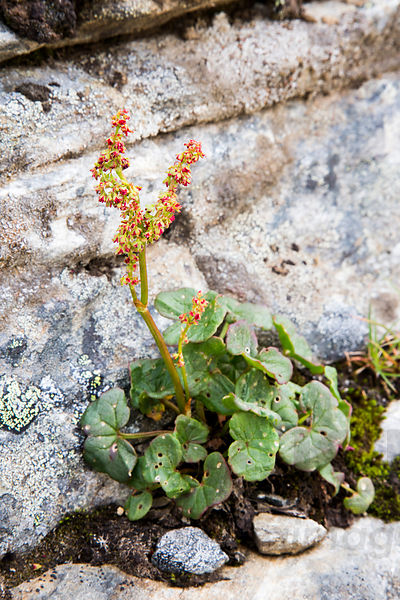Alpine Mountainsorrel