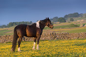 Piebald horse in a pasture covered in buttercups, Yorkshire Dales National Park, UK.