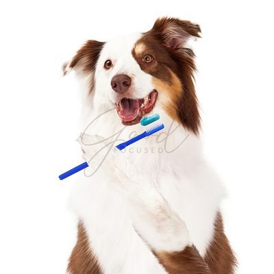 Sheltie Dog Brushing Teeth