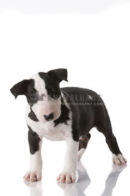 Black and white Bull Terrier puppy standing on white in studio