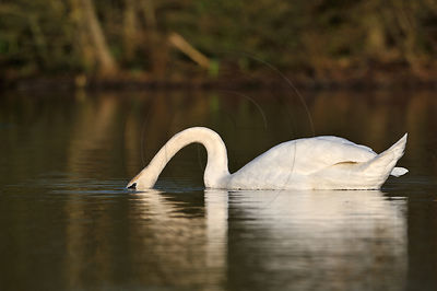 Male Mute swan feeding aquatic plants by diving its head in the water of a lake