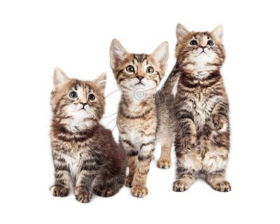 Three Curious Tabby Kittens Together on White