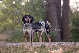Coonhound standing on edge of forest