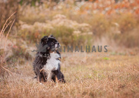 Chihuahua Pekinese cross breed sitting in a colorful fall field