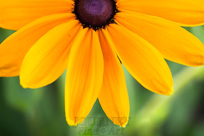 Black Eyed Susan Bottom