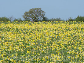 Cowslips Primula veris growing in hay meadow North Norfolk May