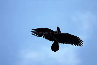 Common raven in flight (Corvus corax). Poland, Europe