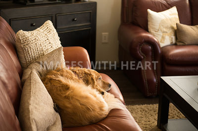 Golden retriever dog sleeping on couch