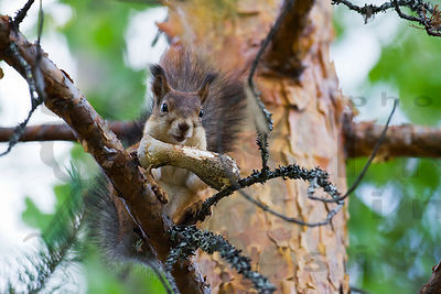 The European Red Squirrel