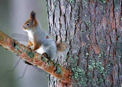 Red Squirrel with unnormally short tail
