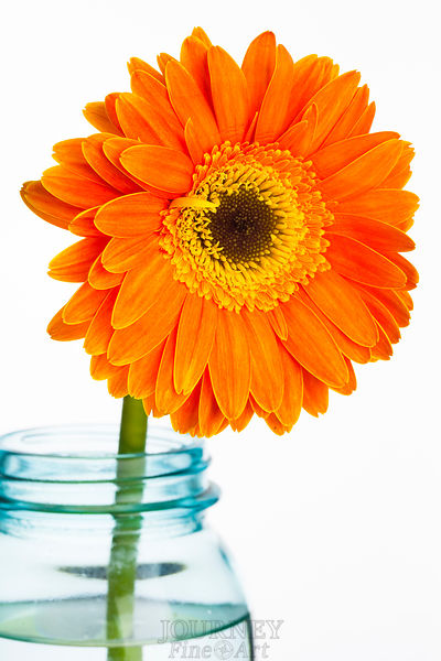 Orange Daisy in Jar