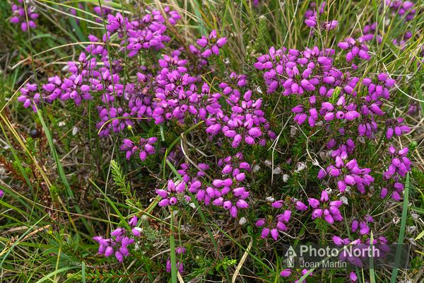 HEATHER 06A - Bell heather