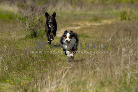 two dogs running wlong path in grassy field