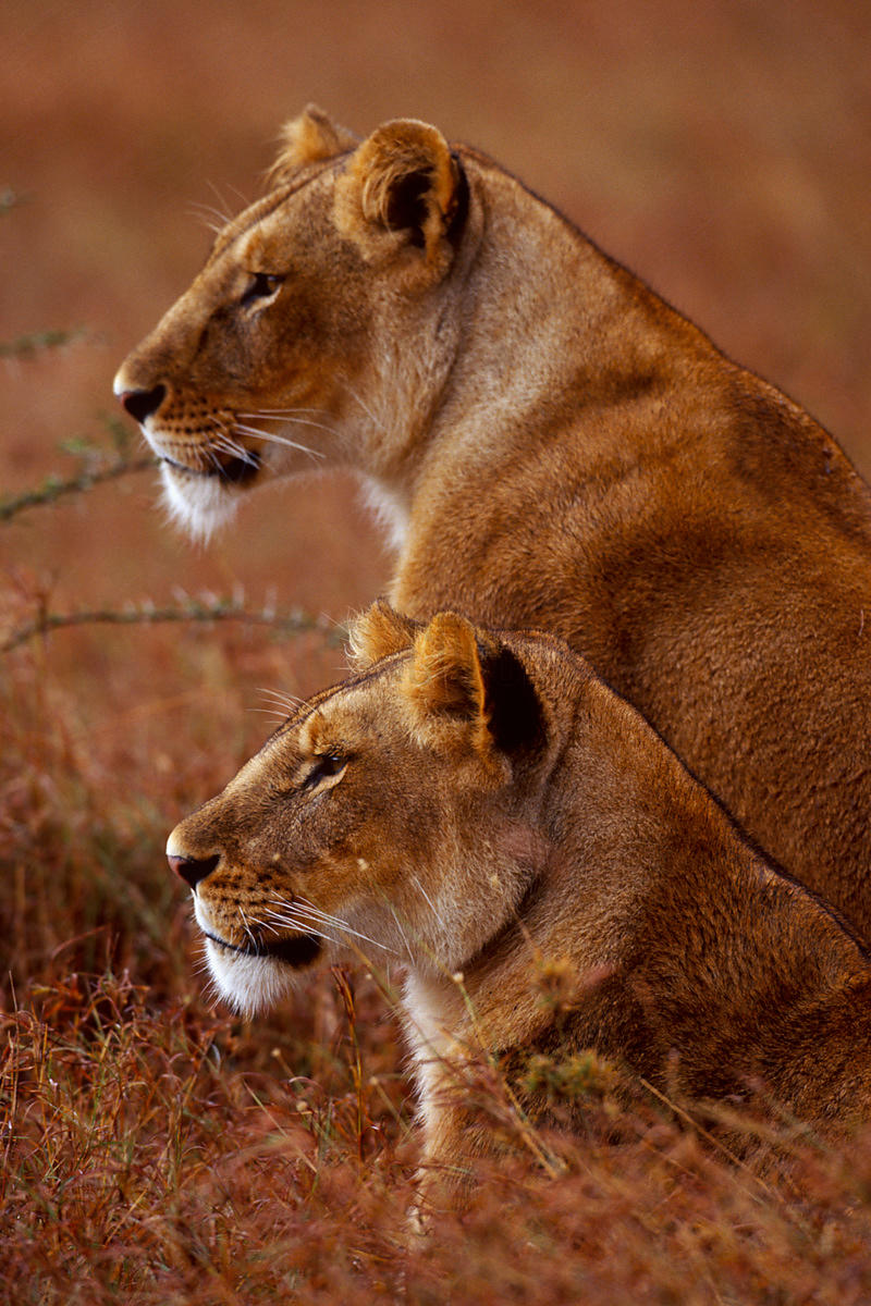Portrait o Two Lionesses Watching Prey