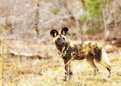 Endangered Wild Dog in South Africa