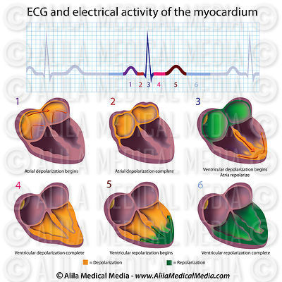 ECG cycle explained.