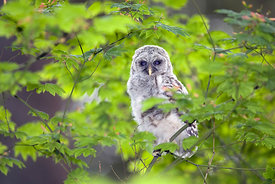 June - Barred Owlet