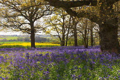 Bluebells in Constable Country