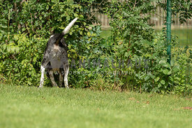 A black and white dog digging at the edge of a fence