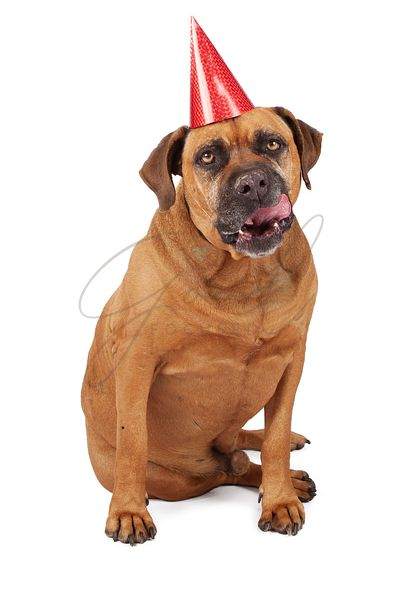 Bullmastiff Dog Wearing Birthday Hat Licking Lips