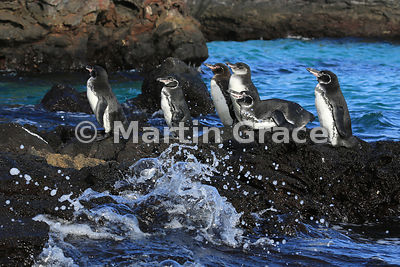 Group of 5 adult Galapagos Penguins and one juvenile (Spheniscus mendiculus) with spray, Sombrero Chino, Galapagos Islands