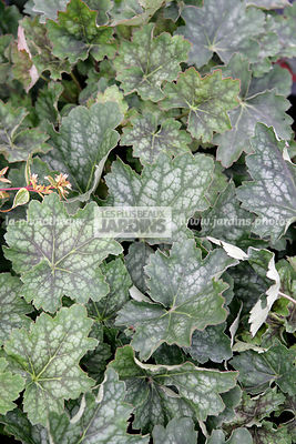Heuchera americana 'Marvelous Marble', Alum root, Coral bells, Saxifragaceae, Vivace rustique,