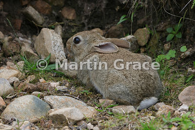Young European Rabbit (Oryctolagus cuniculus), June 27, Cairngorms, Scottish Highlands