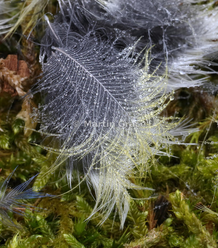 Misted Blue Tit Feather - commended in the Attention to Detail category of Bird Photographer of the Year 2018