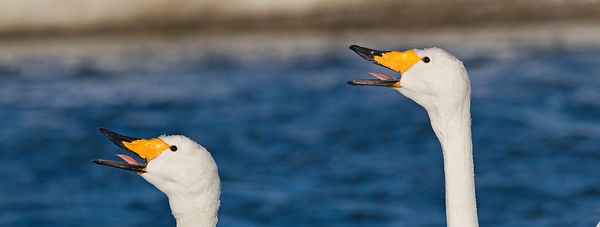 Whooper Swans Cygnus cygnus pair in courtship bonding display Hokkaido Japan winter
