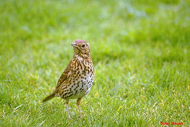 October - Song Thrush