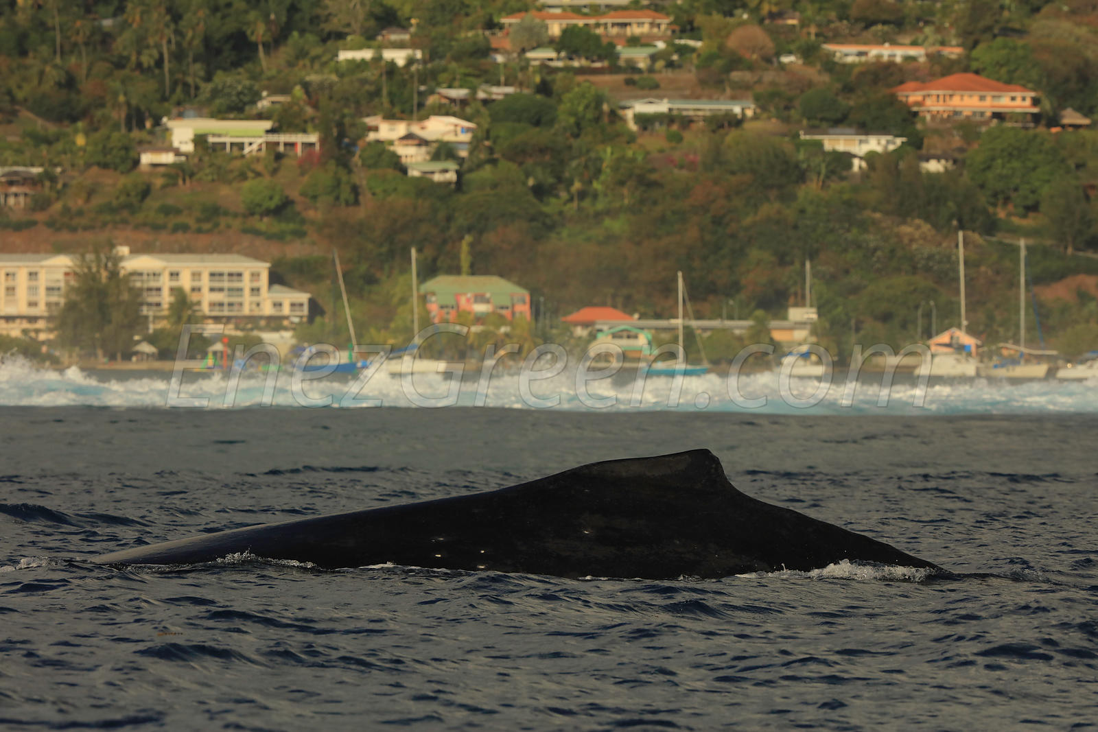 Humpback whale in Tahiti