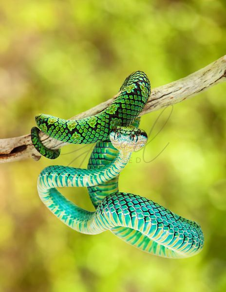 Sri Lankan Palm Viper Hanging On Branch