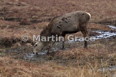 Red Deer stag that has shed his antlers (Cervus elaphus) grazing vegetation on open moor (muir), April 3, Badenoch & Strathsp...