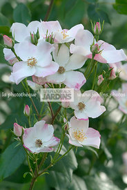 Andre Eve nursery, Digital, Hybrid multiflora rose, Old garden rose, Perpetual rose, Rose bush